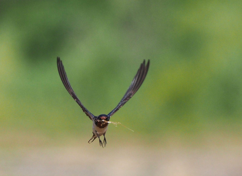 BORG71FLで撮影した野鳥・ツバメの写真画像