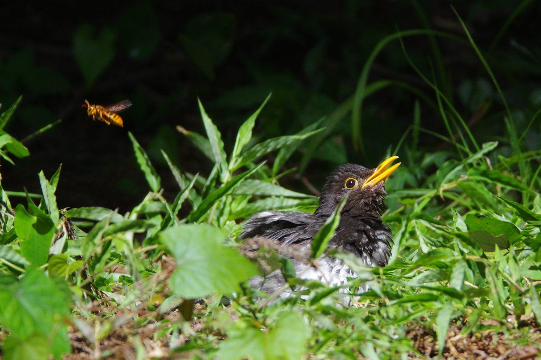 AFボーグ BORG71FLで撮影した野鳥・クロツグミの写真画像