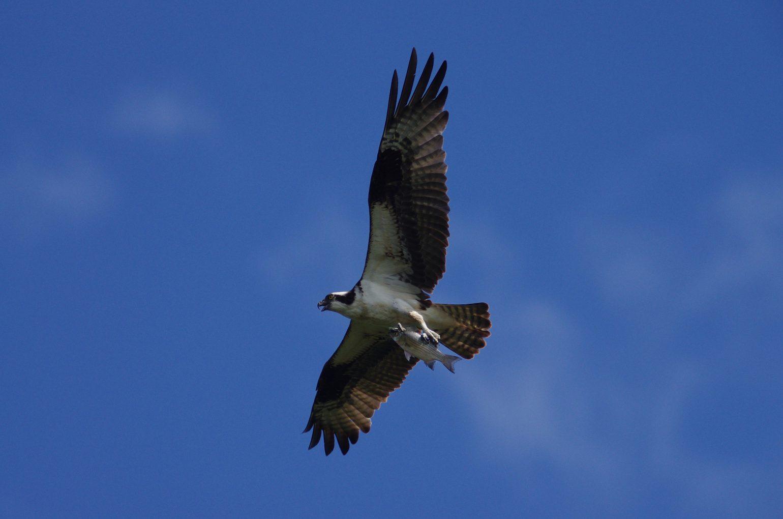 BORG77EDⅡで撮影した野鳥・ミサゴの写真画像