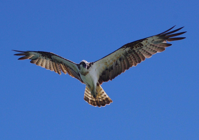 BORG77EDⅡで撮影したミサゴの野鳥写真画像