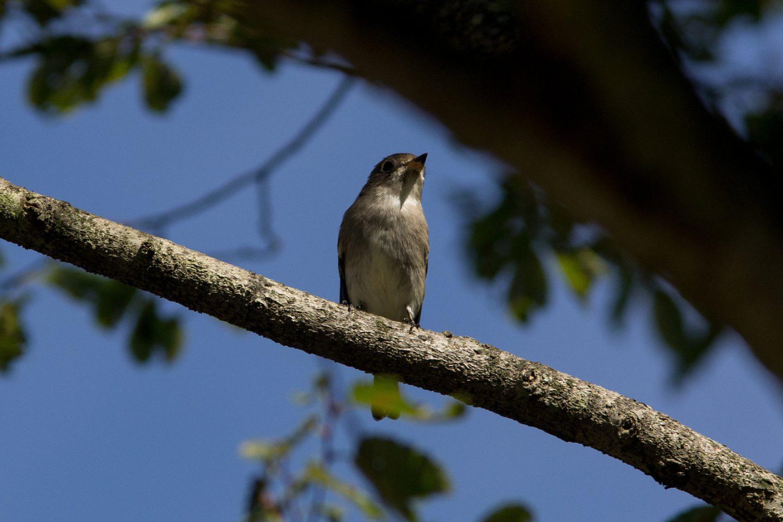 BORG45EDⅡで撮影したコサメビタキの野鳥写真画像