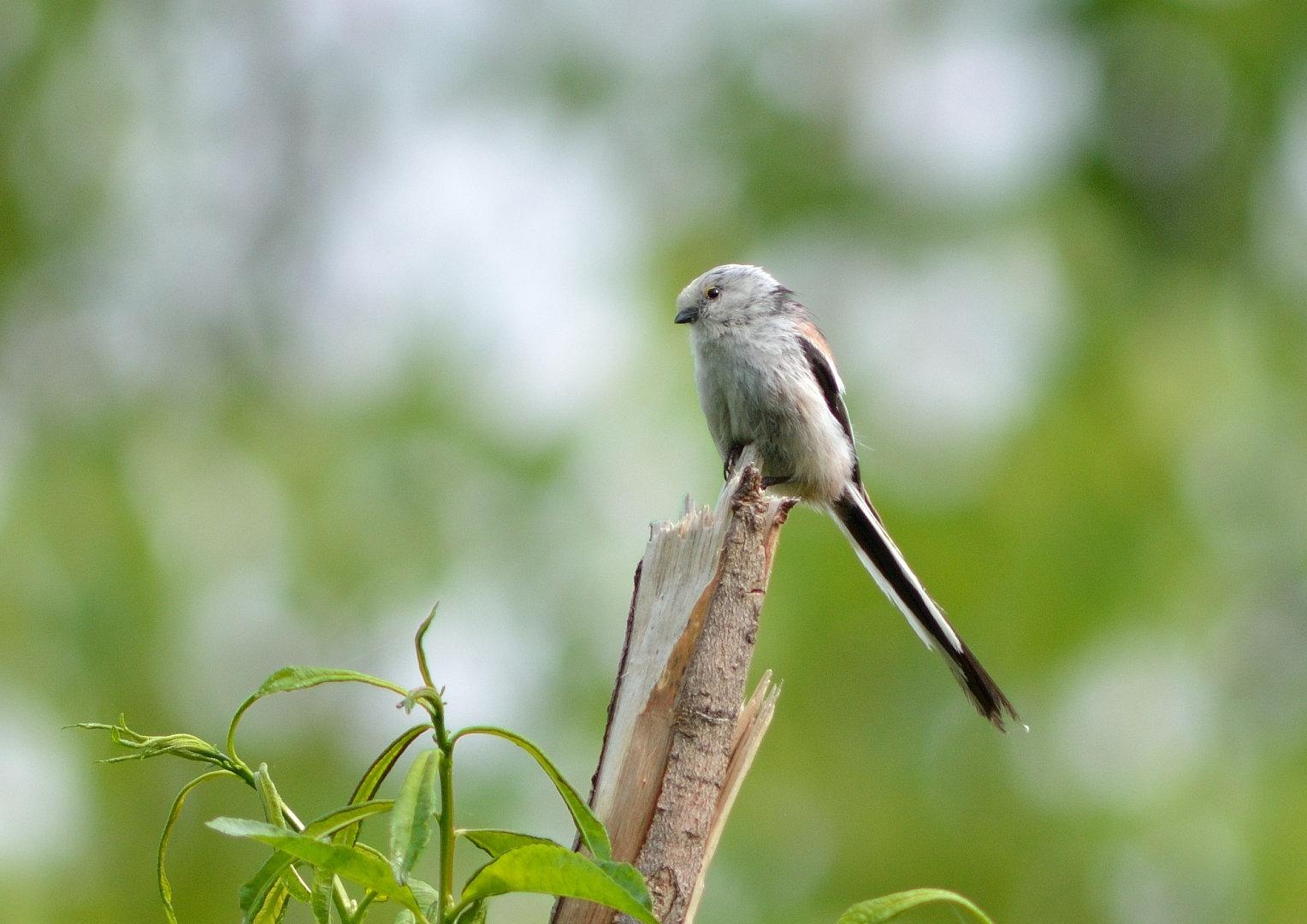 BORG71FLで撮影した野鳥・シマエナガの写真画像