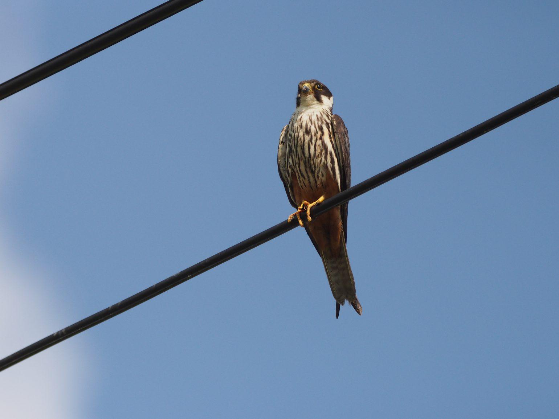 BORG71FLで撮影した野鳥・チゴハヤブサの写真画像