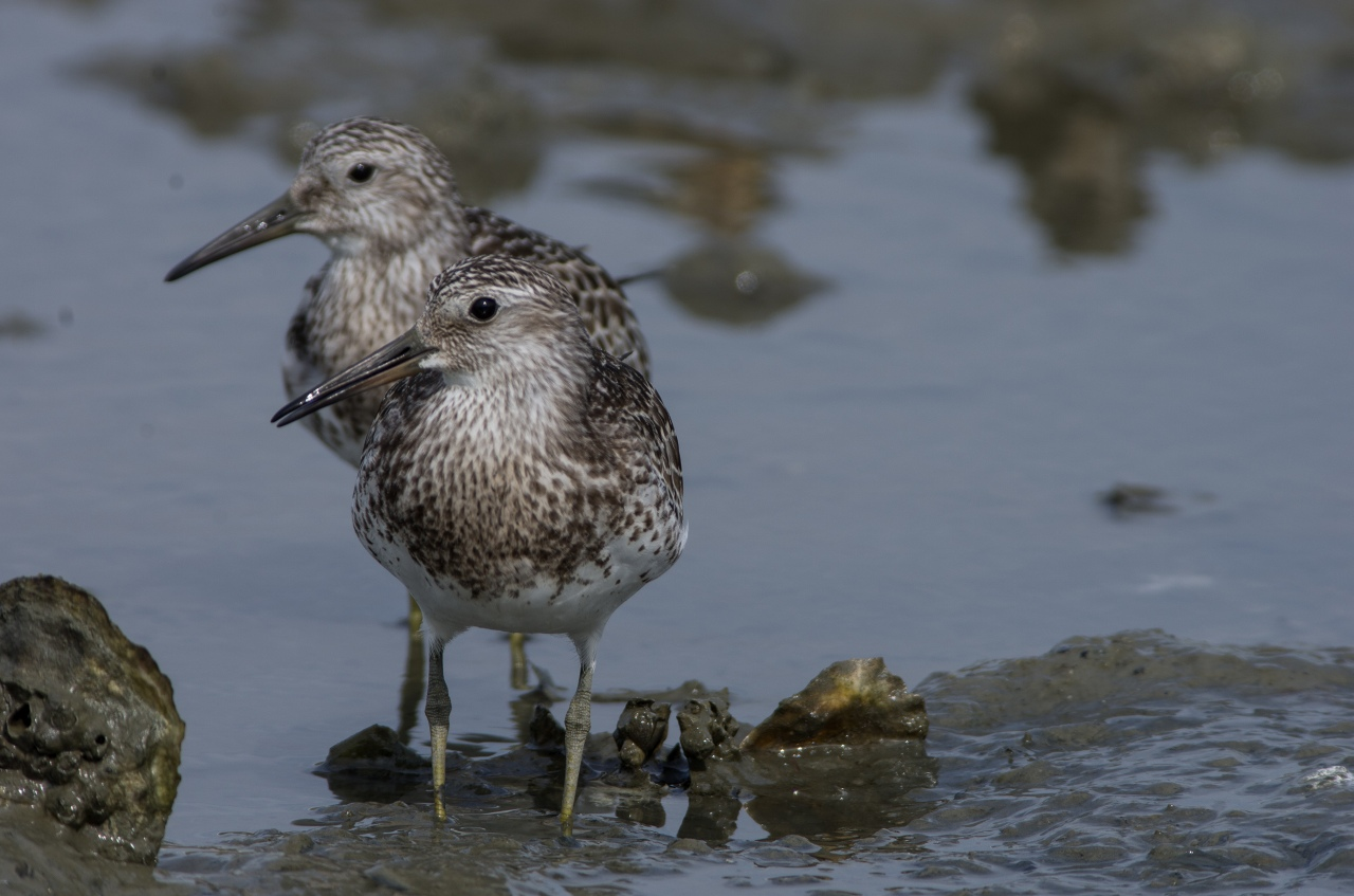 BORG71FLで撮影した野鳥・オバシギの写真画像