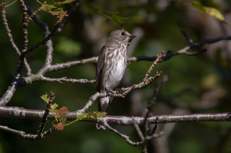 AFボーグ BORG71FLで撮影した野鳥・サメビタキの写真画像