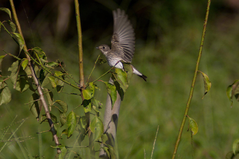 BORG50アクロで撮影した野鳥・エゾビタキの写真画像