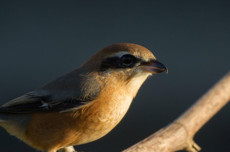 BORG71FLで撮影した野鳥・モズの写真画像