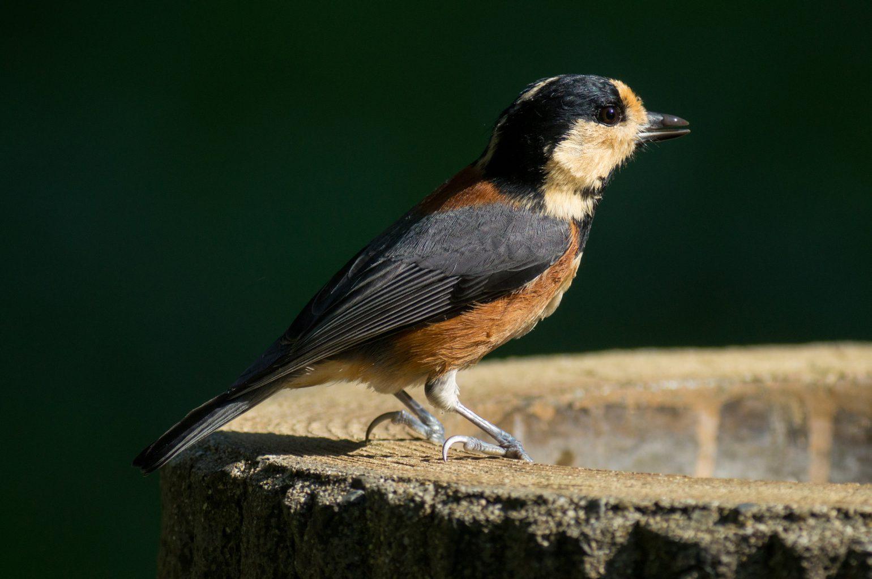 BORG77EDⅡで撮影した野鳥・ヤマガラの写真画像