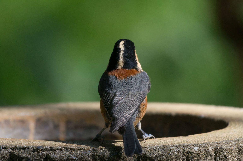 BORG71FLで撮影した野鳥・ヤマガラの写真画像