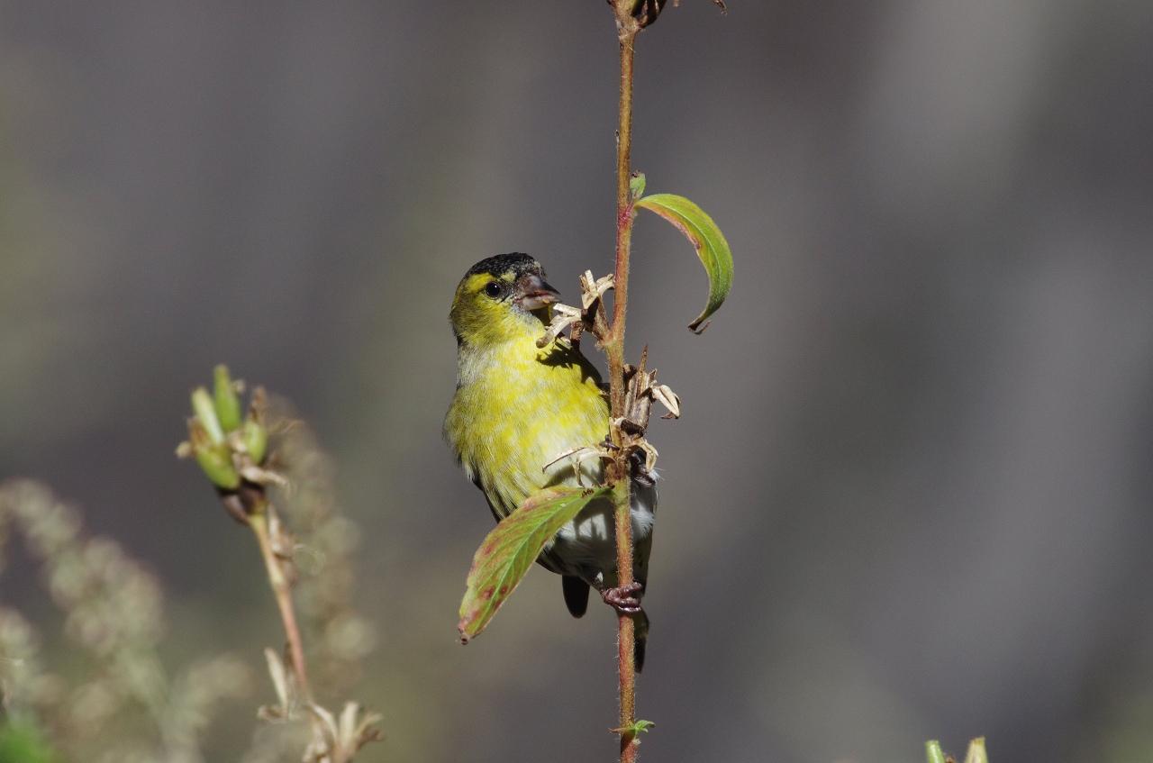 AFボーグ BORG71FLで撮影した野鳥・マヒワの写真画像