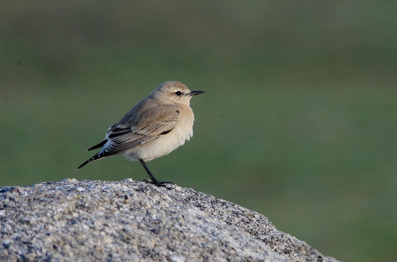 AFボーグ BORG71FLで撮影した野鳥・ズモヒタの写真画像イ