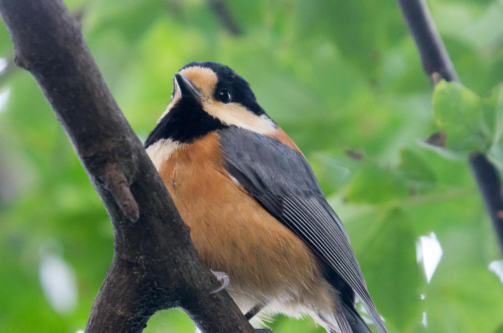 BORG45EDⅡで撮影した野鳥・ヤマガラの写真画像