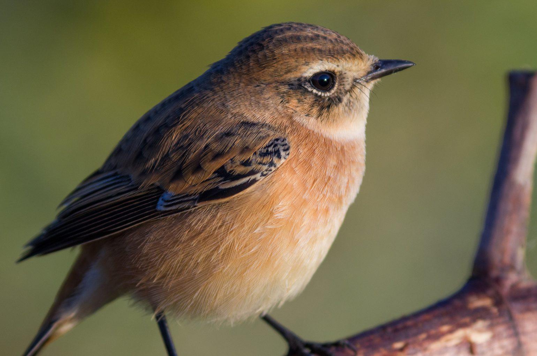 BORG125SDで撮影した野鳥ノビタキの写真画像