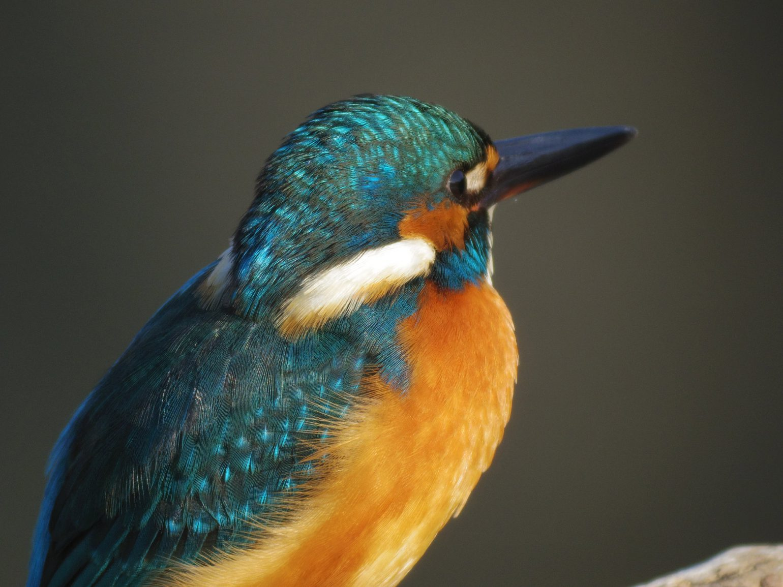 BORG71FL+PENTAX Q 10で撮影した野鳥・カワセミの写真画像