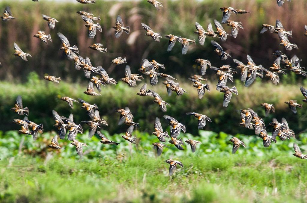 BORG71FLで撮影した野鳥・アトリの群れの飛び立ちシーン写真画像