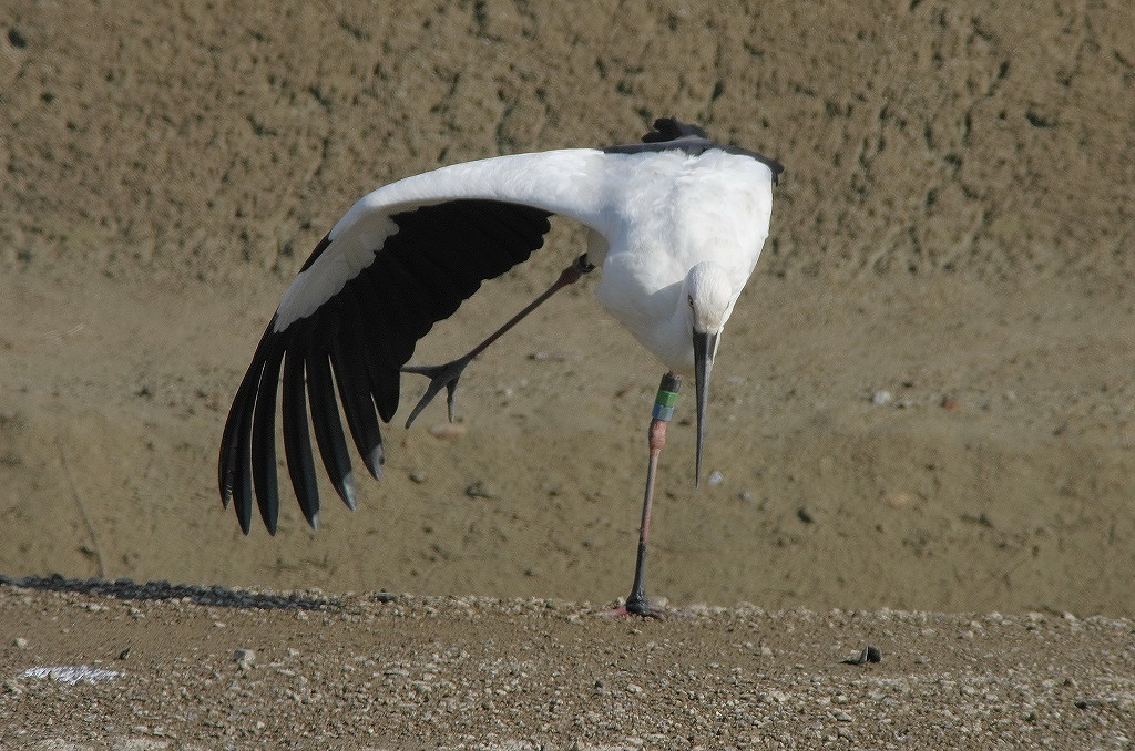AFボーグ BORG71FLで撮影した野鳥・コウノトリの写真画像