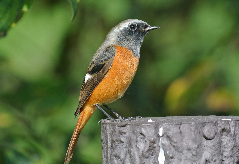 BORG71FLで撮影した野鳥・ジョウビタキの写真画像