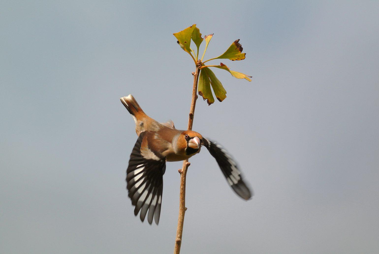 BORG71FLで撮影した野鳥・シメの写真画像