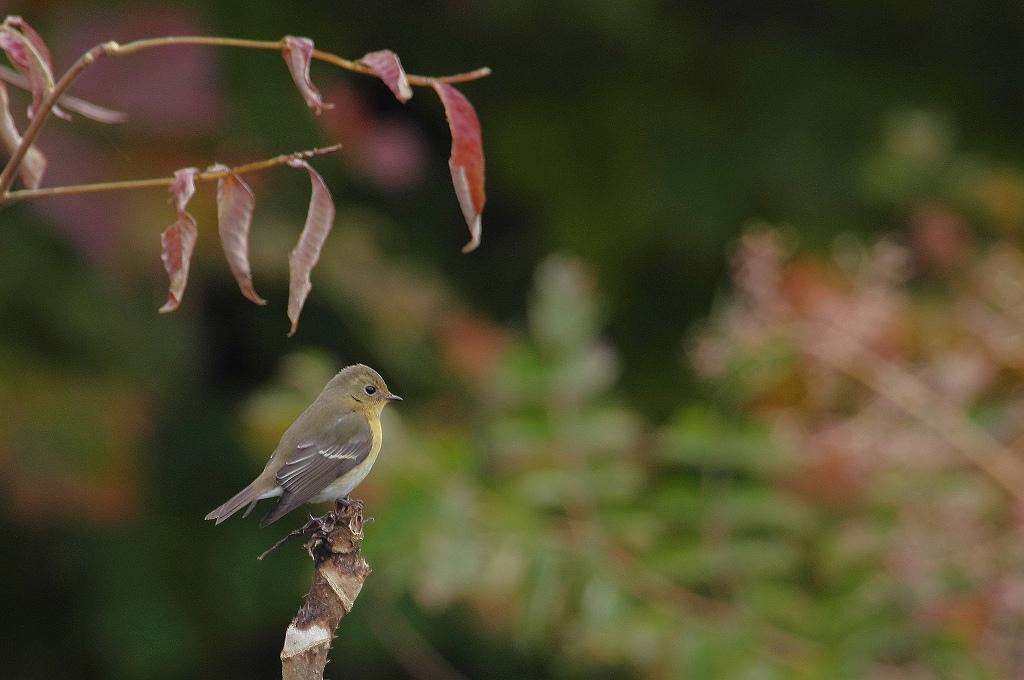 AFボーグ BORG71FLで撮影した野鳥・ムギマキの写真画像