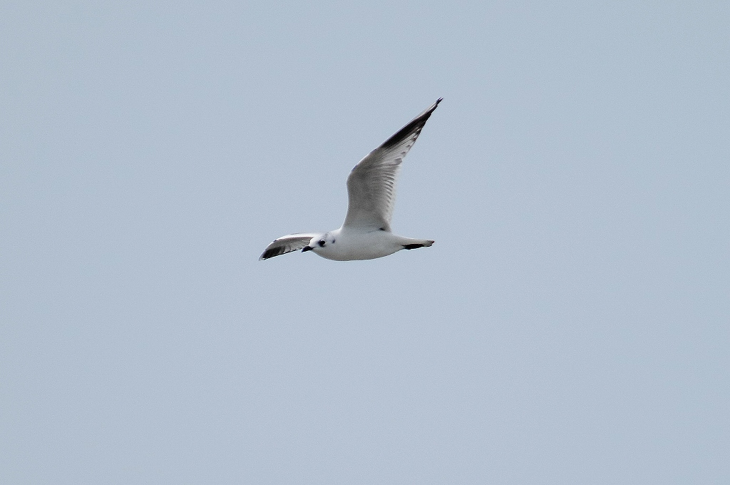 BORG71FLで撮影した野鳥・ズグロカモメの写真画像