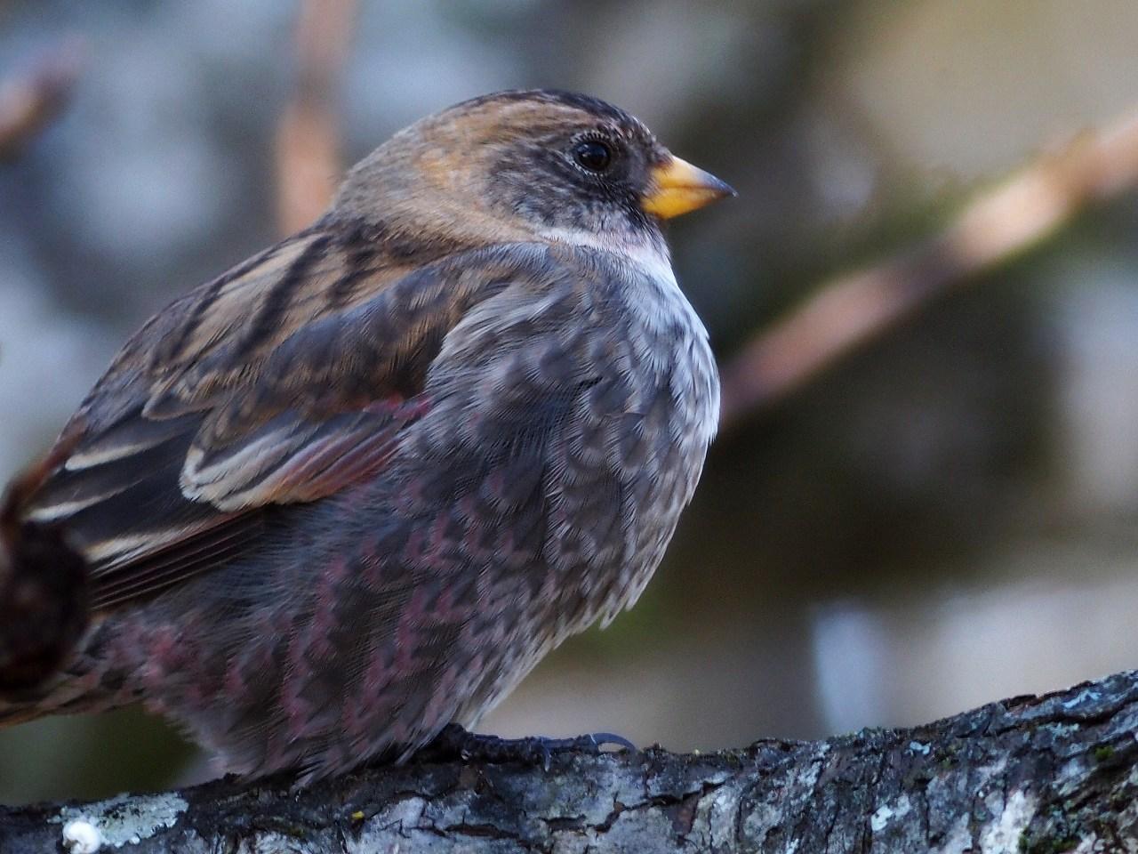 AFボーグ BORGで撮影した野鳥・ハギマシコの写真画像