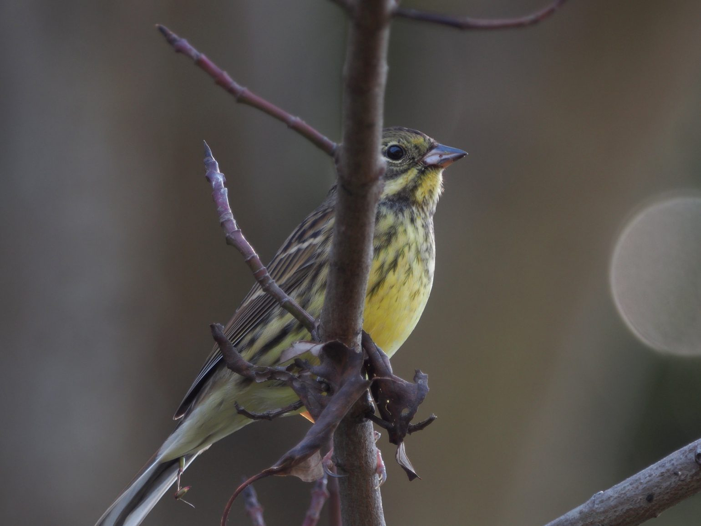 BORG71FLで撮影した野鳥・アオジの写真画像