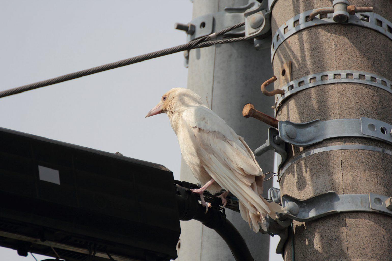 BORG71FLで撮影した野鳥・白いカラスの写真画像