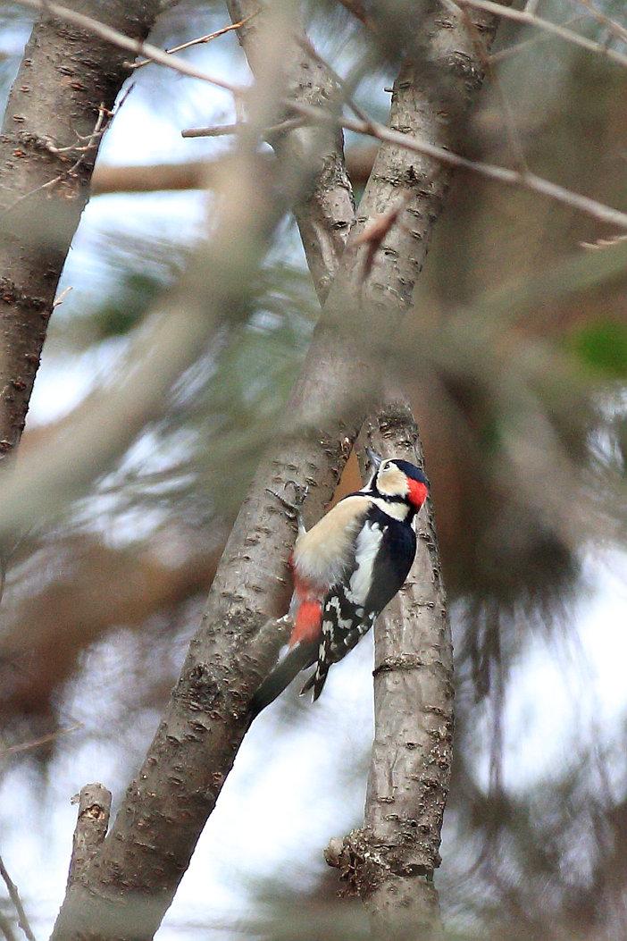 BORG71FLで撮影した野鳥・アカゲラの写真画像
