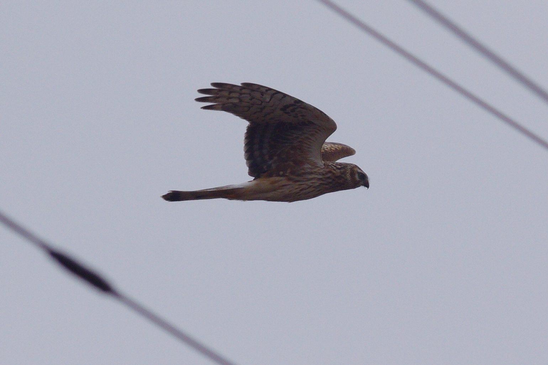 BORG71FLで撮影した野鳥・ハイイロチュウヒの写真画像