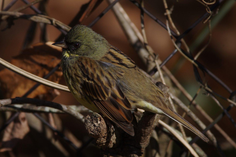 AFボーグ BORG71FLで撮影した野鳥・アオジの写真画像