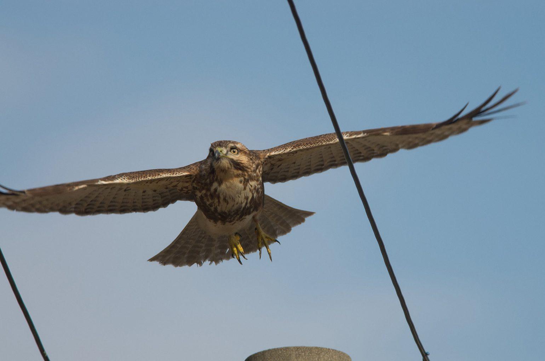 AFボーグ BORG71FLで撮影した野鳥・ノスリの写真画像