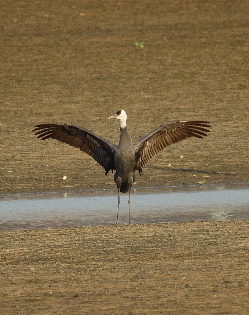BORGで撮影した野鳥・クロツラヘラサギの写真画像