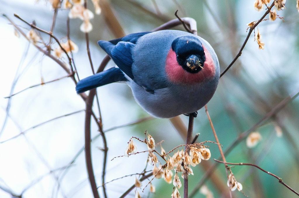 BORGで撮影した野鳥・ウソの写真画像