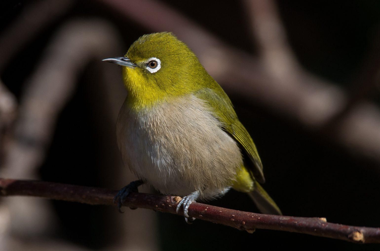 AFボーグ BORG71FLで撮影した野鳥・メジロの写真画像
