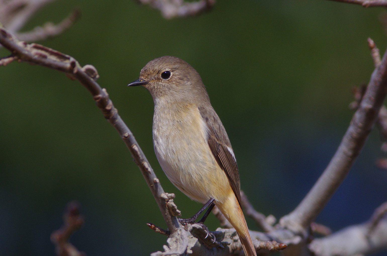 AFボーグ BORGで撮影した野鳥・ジョウビタキの写真画像