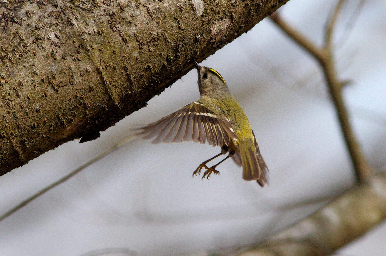 AFボーグ BORGで撮影した野鳥・キクイタダキの写真画像