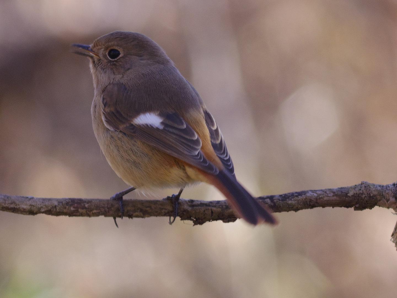 BORG45EDⅡで撮影した野鳥・ジョウビタキの写真画像