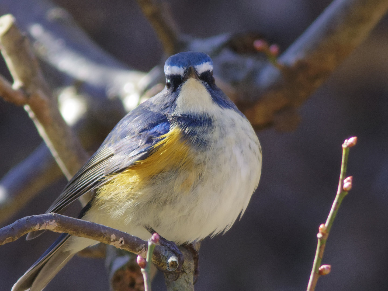 BORG45EDⅡで撮影した野鳥・ルリビタキの写真画像