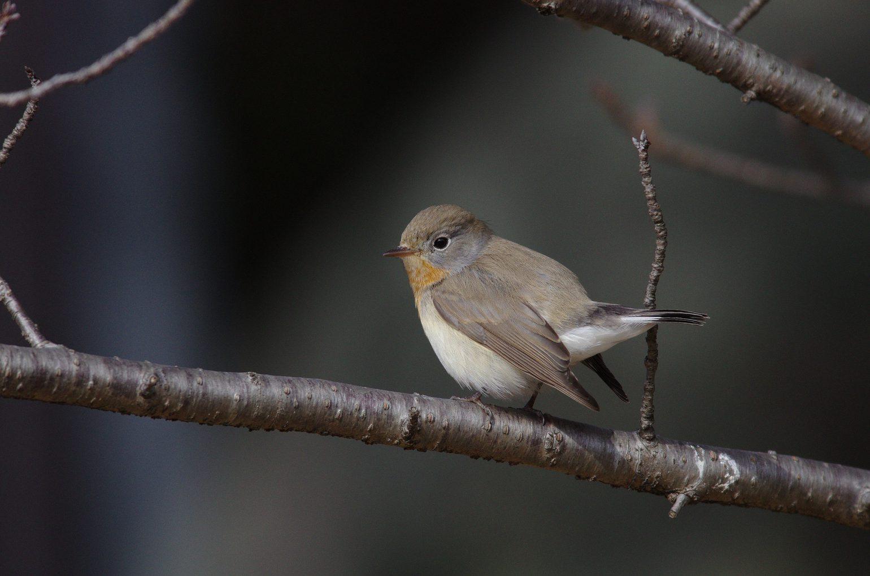 AFボーグ BORG71FLで撮影した野鳥・ニシオジロビタキの写真画像