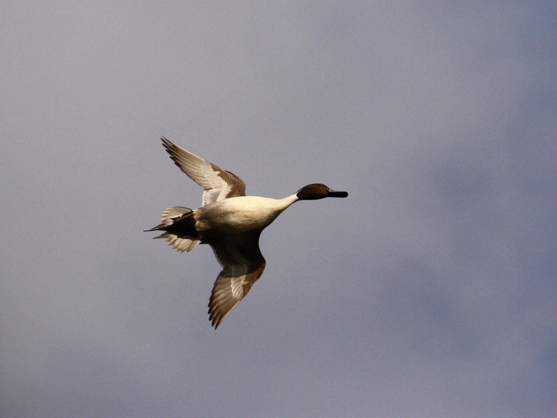 BORG50FLで撮影した野鳥・カモの写真画像