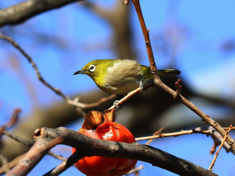 BORG50FLで撮影した野鳥・メジロの写真画像