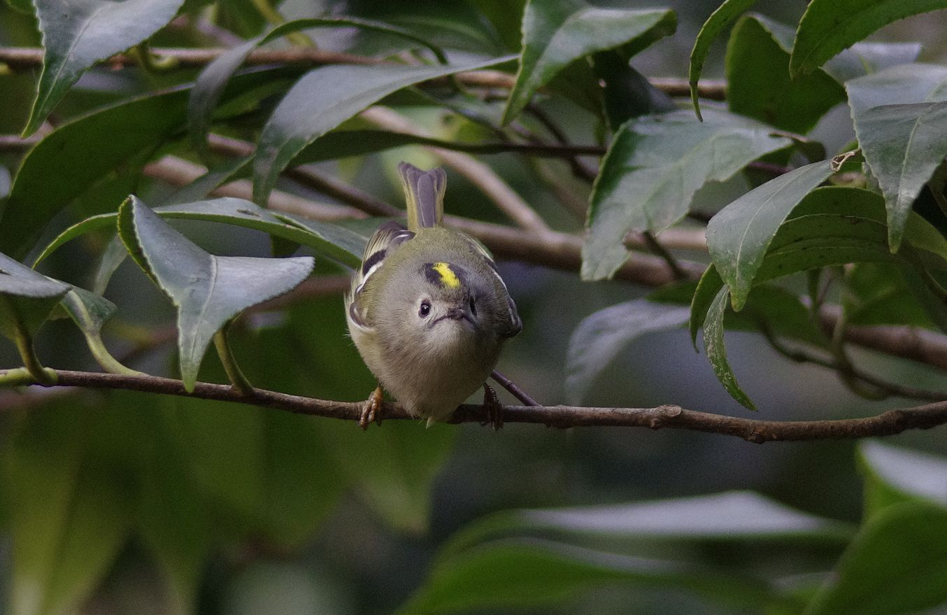 BORG77EDⅡで撮影した野鳥・キクイタダキの写真画像