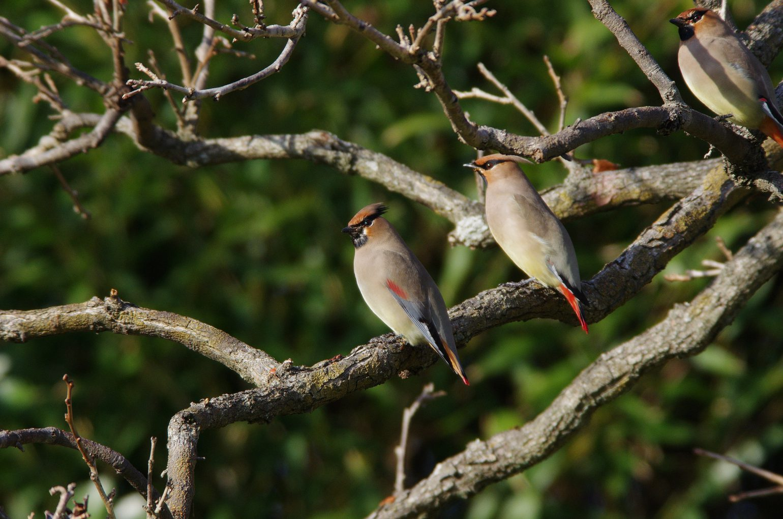 BORG71FLで撮影した野鳥・ヒレンジャクの写真画像