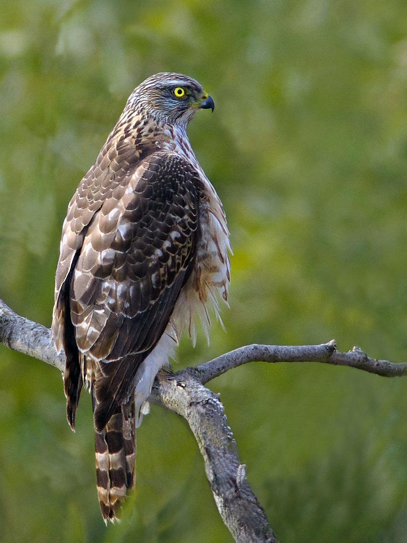 AFボーグ BORG71FLで撮影した野鳥・オオタカの写真画像
