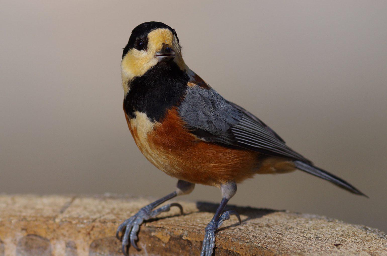BORG89EDで撮影した野鳥・ヤマガラの写真画像