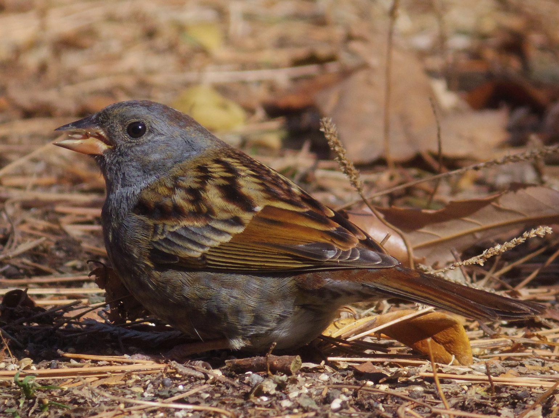 BORG71FLで撮影した野鳥・クロジの写真画像