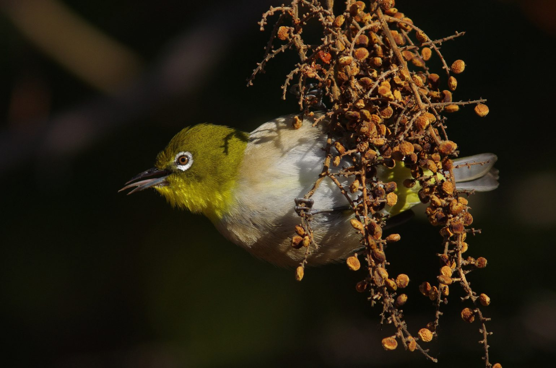 AFボーグ BORG89EDで撮影した野鳥・メジロの写真画像
