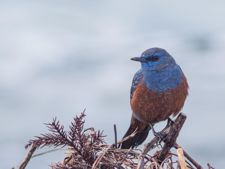 BORG89EDで撮影した野鳥・イソヒヨドリの写真画像