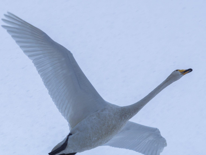 BORG89EDで撮影した野鳥の写真画像
