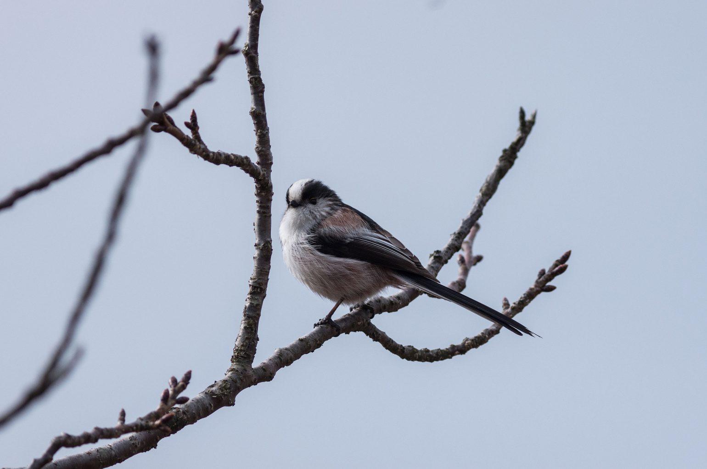 BORG89EDで撮影した野鳥・エナガ写真画像